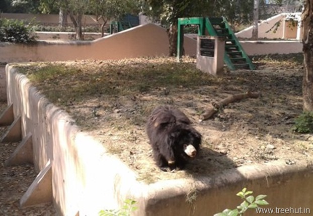 Indian sloth bear at Nawab Wazid Ali Shah Prani Udyan Lucknow zoo