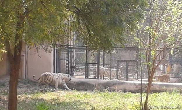 white tigers at Nawab Wazid Ali Shah Prani Udyan Lucknow zoo