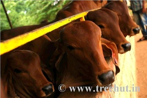 Gir desi cows calfs and bulls at Bangalore