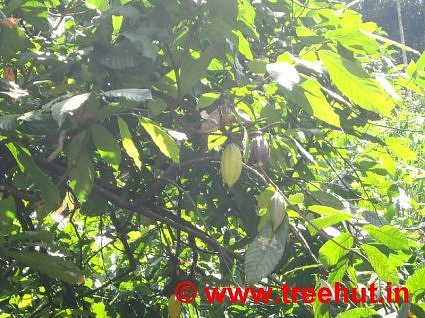 Cocoa growing in India, Deepa World, Spices and Ayurveda Garden, Munnar, Kerala