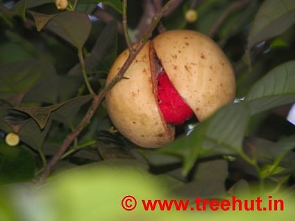 Nutmeg growing at Deepa World, Spices and Ayurveda Garden, Munnar, Kerala, India