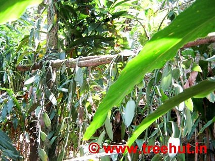 Vanilla grows in India at Deepa World, Spices and Ayurveda Garden, Munnar, Kerala