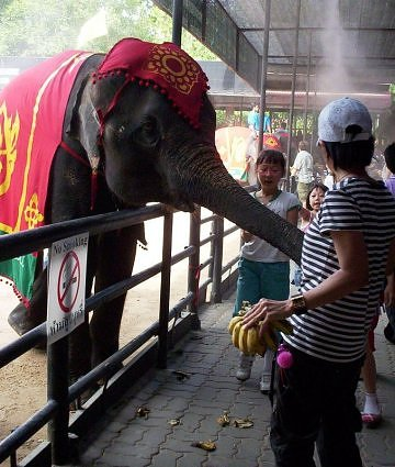 Elephant-eating-bananas-at-Nongnooch-Tropical-garden,-Pattaya,-Thailand