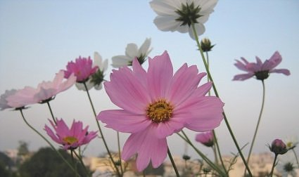 Pink and white cosmos grow easily in Lucknow gardens