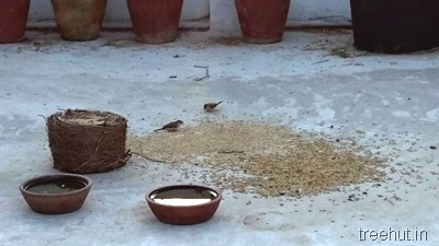sparrows food grass seeds