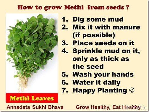 How to grow Methi, Fenugreek in a pot (2)