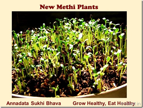 How to grow Methi, Fenugreek in a pot (5)