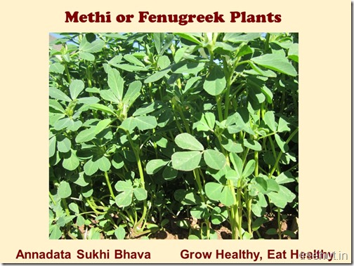 How to grow Methi, Fenugreek in a pot (6)