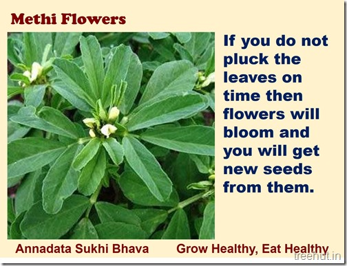 How to grow Methi, Fenugreek in a pot (7)