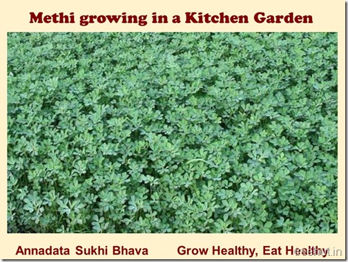 How to grow Methi, Fenugreek in a pot (8)