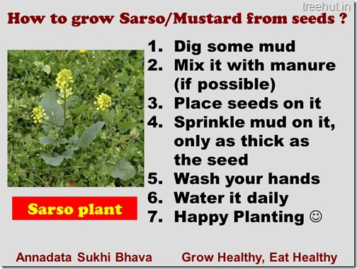 Grow Mustard in a pot (2)