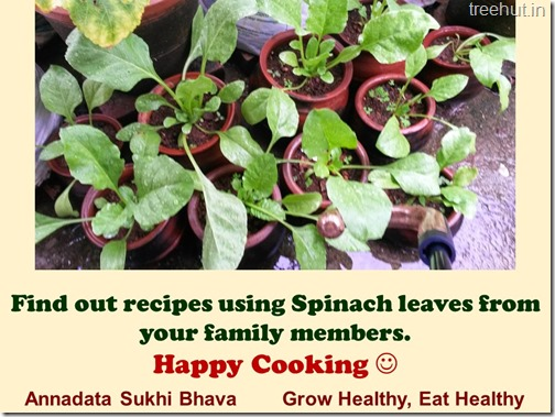 How to grow Spinach or Palak easily (1)
