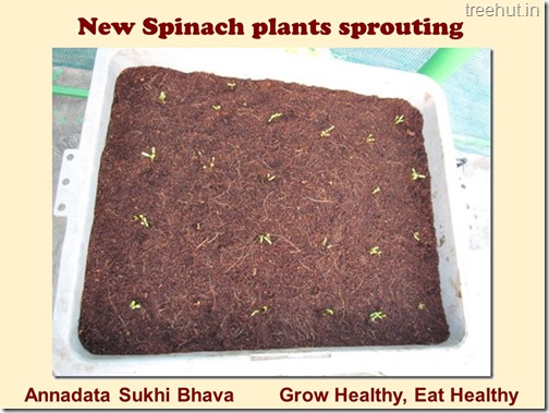 How to grow Spinach or Palak easily (5)