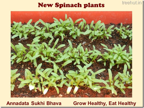 How to grow Spinach or Palak easily (6)