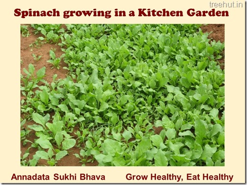 How to grow Spinach or Palak easily (7)