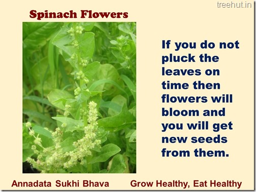 How to grow Spinach or Palak easily (8)